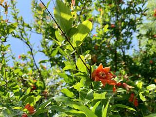 ザクロの花が咲きました。の写真・画像素材[4540285]