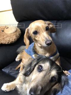 ソファの上に横たわる大きな茶色の犬の写真・画像素材[1169667]