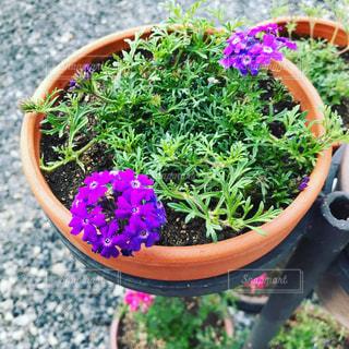 パープルの花で満たされたボウルの写真・画像素材[1169913]