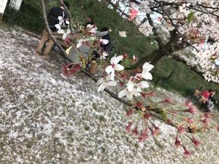 桜の写真・画像素材[1171557]