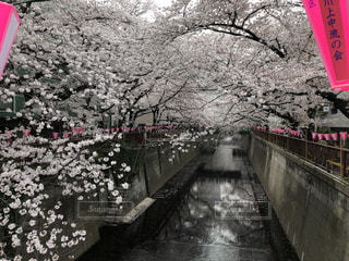 中目黒の桜まつりの写真・画像素材[1171439]