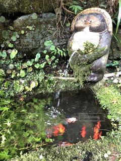 金魚とたぬきの写真・画像素材[1615722]