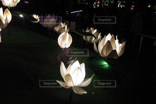 ハスの花のランタンの写真・画像素材[1172144]