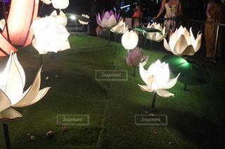 ハスの花のランタンの写真・画像素材[1172153]