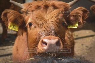 クローズアップの若い牛🐂の写真・画像素材[1172596]