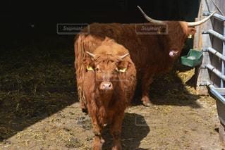 山小屋の牛🐂の写真・画像素材[1172597]