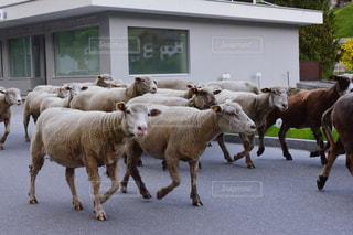 羊たちの行進の写真・画像素材[1500041]