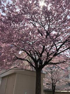 団地の中の桜の写真・画像素材[1171955]