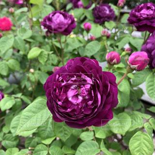 紫の薔薇の写真・画像素材[1175797]