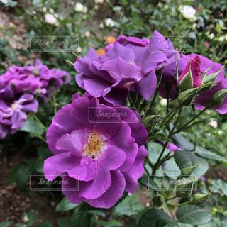 これも薔薇ですの写真・画像素材[1175801]