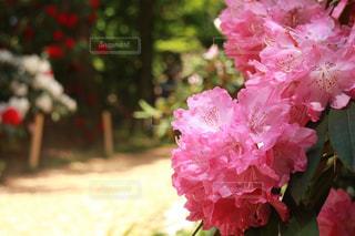 石楠花の写真・画像素材[1172445]