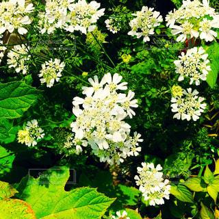 白いお花の写真・画像素材[1176878]