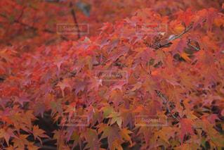 東福寺 紅葉(2017.11.16) - No.880790