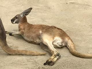 東山動物園にいただるそうなカンガルーの子どもの写真・画像素材[1172779]