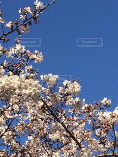青空バックの桜の写真・画像素材[1172824]
