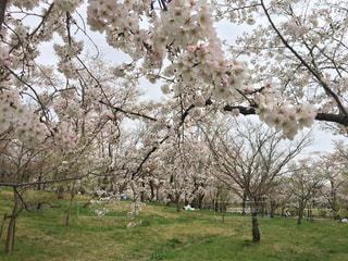 岡崎城の桜の写真・画像素材[1172828]