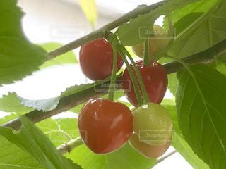 近くに果物のの写真・画像素材[1173002]