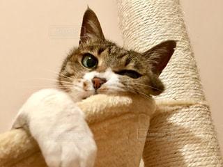 カメラを見ている猫の写真・画像素材[1188694]