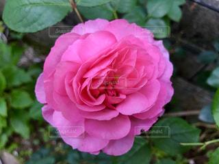 植物にピンクの花の写真・画像素材[1188696]