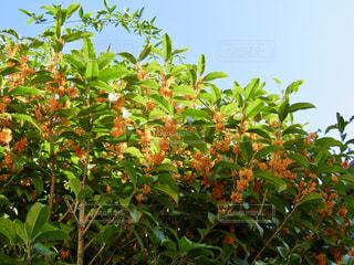 近くに果物の木のアップの写真・画像素材[1567258]