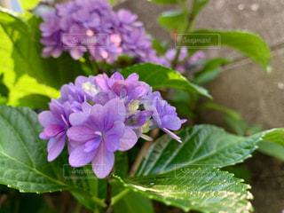 ブルーの紫陽花の写真・画像素材[2236684]