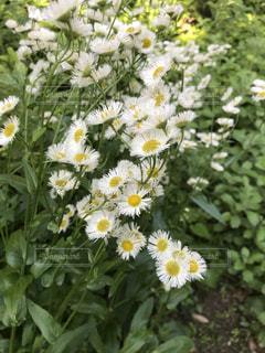 白い花の写真・画像素材[1173228]