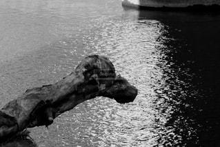 水の体の横に立っている牛の写真・画像素材[1173809]