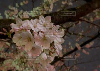 夜桜散策の写真・画像素材[2106985]