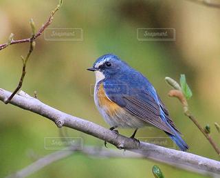 幸せの青い鳥の写真・画像素材[1174230]