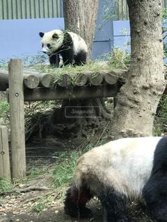 動物園のエンクロージャでパンダのクマの写真・画像素材[1175189]