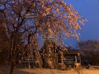夜桜の写真・画像素材[4287673]