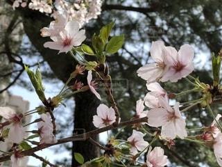 葉桜の写真・画像素材[1743444]