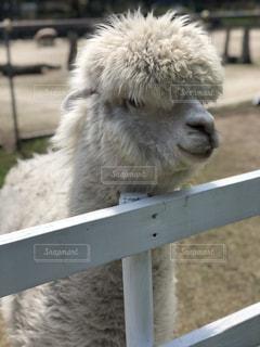 近くにフェンスの背後にある羊のアップの写真・画像素材[1175858]
