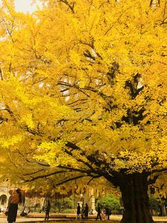 イチョウの木の写真・画像素材[1176482]