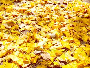 イチョウの葉の写真・画像素材[1176483]