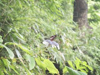 蝶の写真・画像素材[1348433]