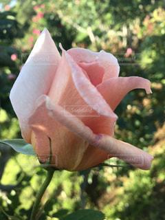 ピンクのバラの写真・画像素材[1176607]