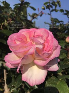 ピンクのバラの写真・画像素材[1176634]