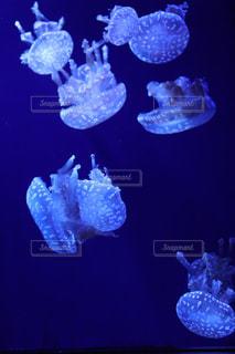 水クラ ゲの写真・画像素材[1177563]