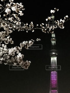 夜桜とスカイツリーの写真・画像素材[1180786]