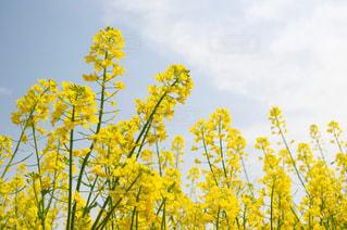 菜の花の写真・画像素材[1178275]