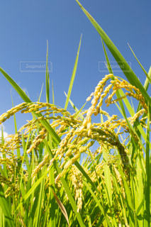 収穫前の稲の写真・画像素材[1178605]