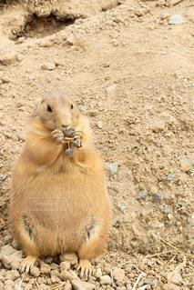 食事中のプレーリードッグの写真・画像素材[1178606]