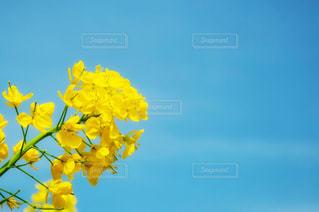 黄色の花の写真・画像素材[1182799]