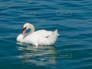 水体で泳ぐ白鳥の写真・画像素材[1178732]