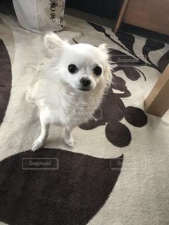茶色と白の小型犬の写真・画像素材[1191419]