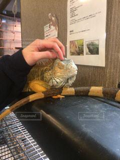 爬虫類カフェでのグリーンイグアナの写真・画像素材[1178839]