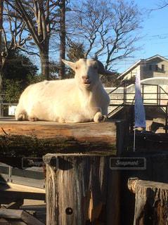 座ってヤギの写真・画像素材[1178841]