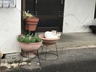 鉢植えネコの写真・画像素材[1181653]