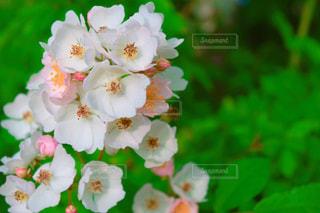 薄ピンクの一重のバラのアップの写真・画像素材[1181397]